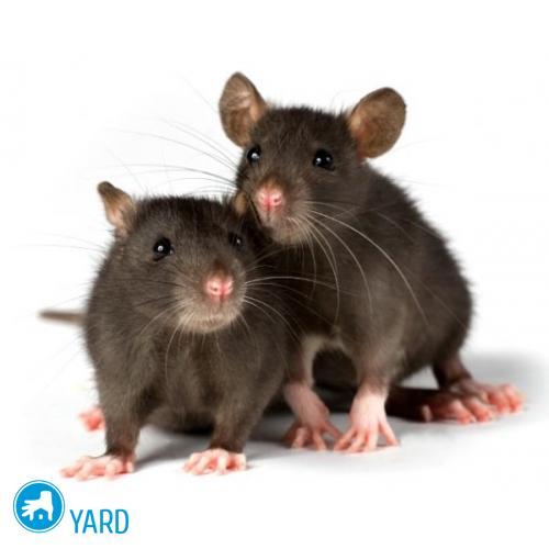 rats-500x500